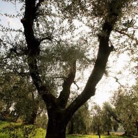 olivo Garda