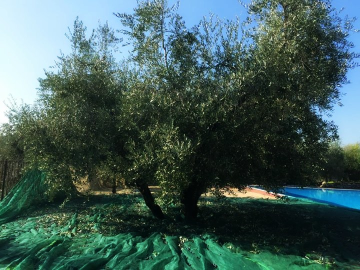 SCENE DA UNA CAMPAGNA OLEARIA - Olio Garda Dop